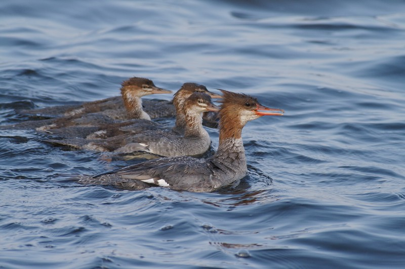 """Also called the """"sawbill,"""" Common Mergansers use their serrated bill for catching and holding fish [July; Park Point, Duluth, Minnesota]"""