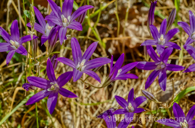 Harvest Brodiaea - Brodiaea coronaria