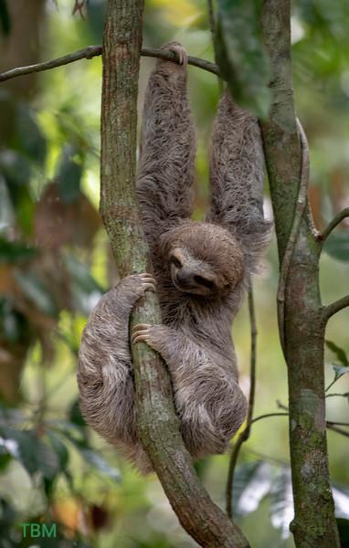 Young sloth.