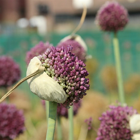 Allium ampeloprasum 'Pink Lady'.jpg