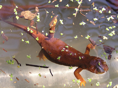 . Newts like moist places, but they only take to the water to breed and spawn. (Photo by Paul Licht)