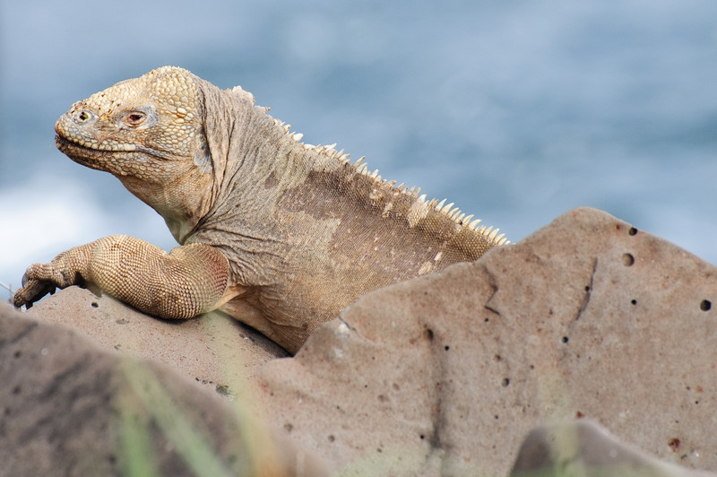 Land Iguana (Santa Fe)