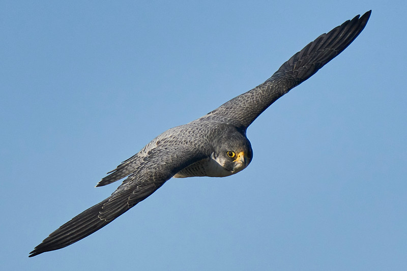 Peregrine Falcon near Point Reyes Lighthouse