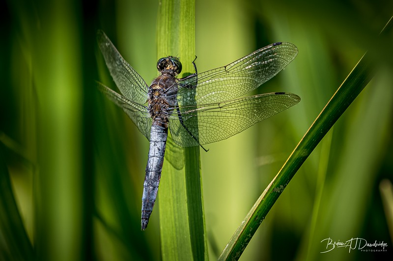A Black Tailed Skimmer (Orthetrum cancellatum) in amongst the reeds at Burton and Chingford Ponds