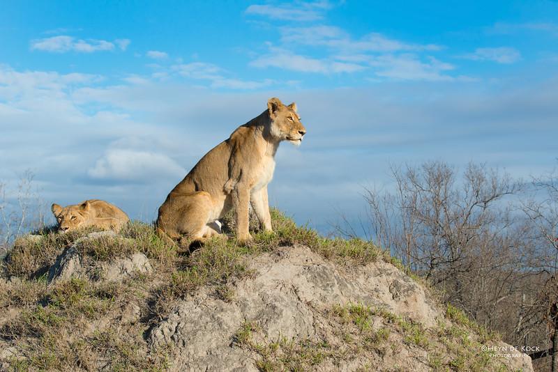 African Lion, Sabi Sands (EP), SA, Sept 2015-16.jpg