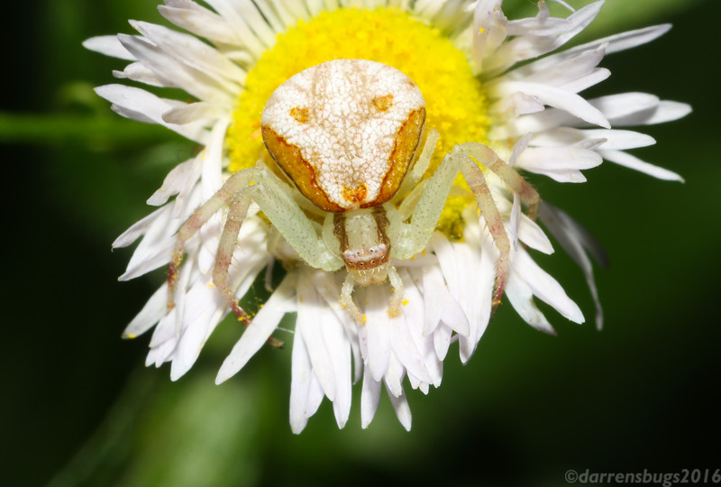Crab spider (Thomisidae) from Iowa.