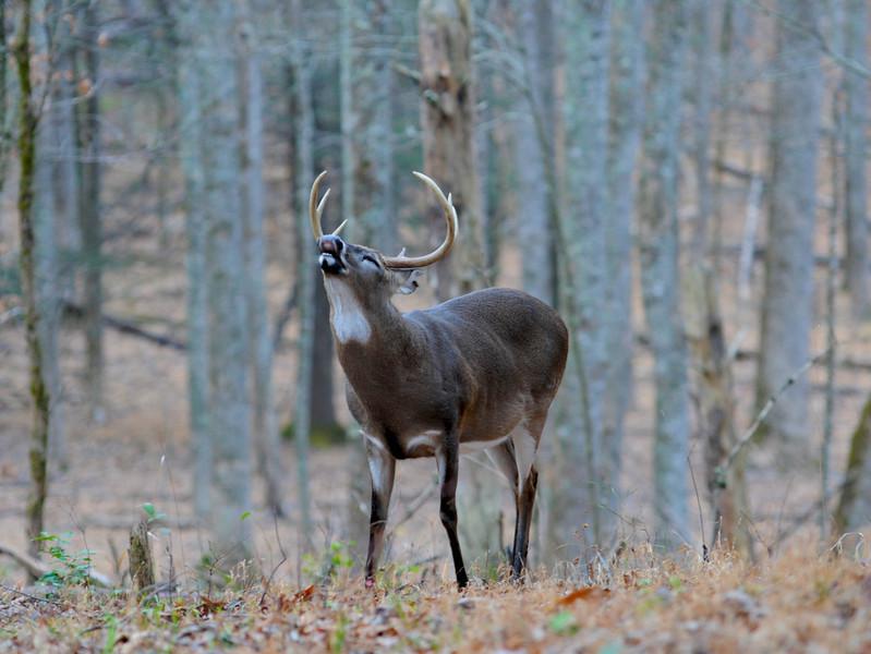 Whitetail Deer_4.jpg