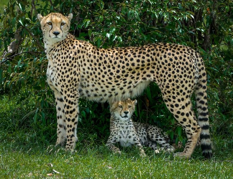 Cheetahs-0203.jpg
