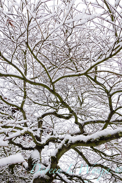 Acer palmatum 'Ever Red' branches in snow_4072.jpg