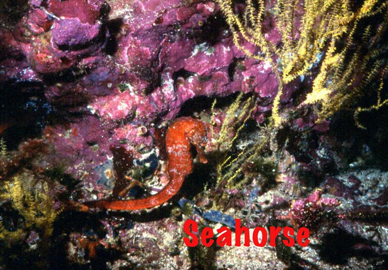 Seahorse-Matthew.jpg