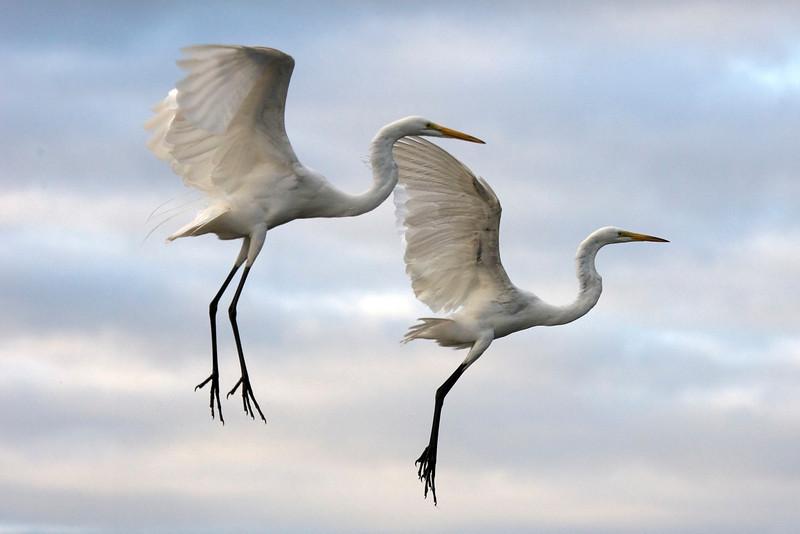 Great Egrets - Ardea alba