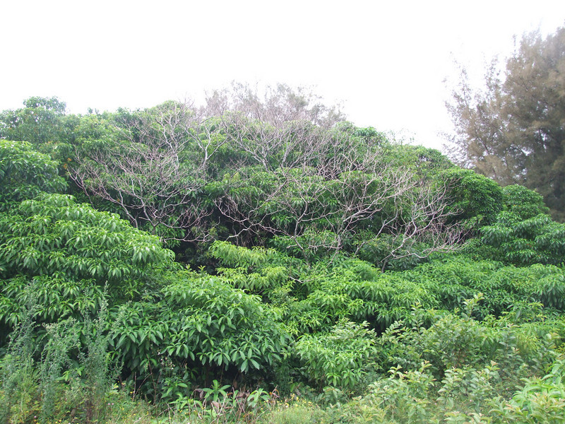 Rauvolfia vomitoria spreading (habitat) in Hawaii   Location: North Kohala, Hawaii (Big Island), Hawaii, USA  Date: 04 August 2009  Copyright (c) 2009 by J. B. Friday.  You may use this image freely for educational purposes, but please notify me (jbfriday@hawaii.edu).  To arrange permission for commercial use, please contact me (jbfriday@hawaii.edu).