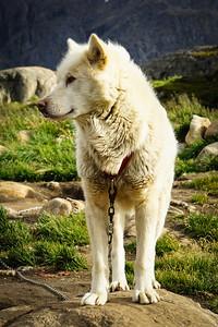 GREENLANDIC SLED DOG - SISIMIUT, GREENLAND