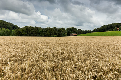 Heitenried Summer Fields