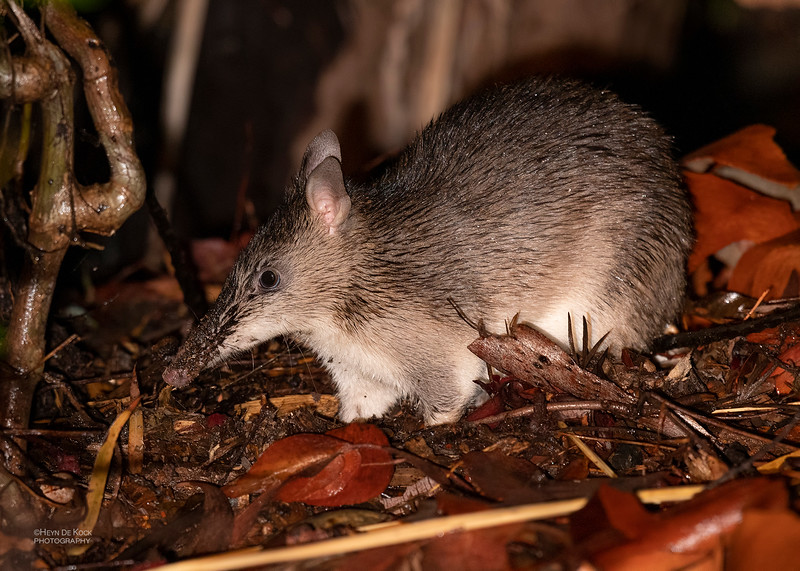 Southern Long-nosed Bandicoot, Hidden Valley, QLD, Jan 2020-1_1.jpg