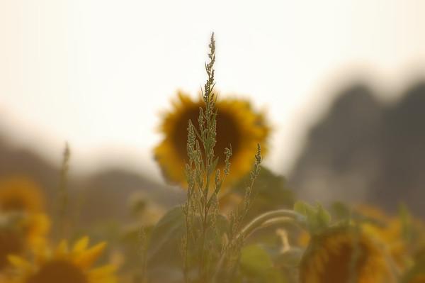 2009_07_16_Sunflowers