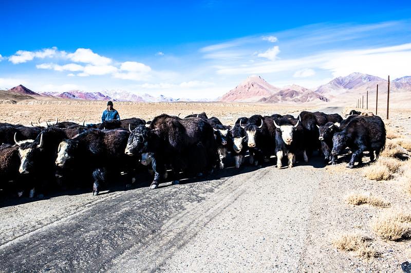 Watch out the yaks, Tajikistan