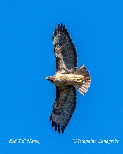 _DSC4129Red Tail hawk.jpg
