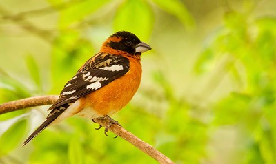 Grosbeaks and Tanagers