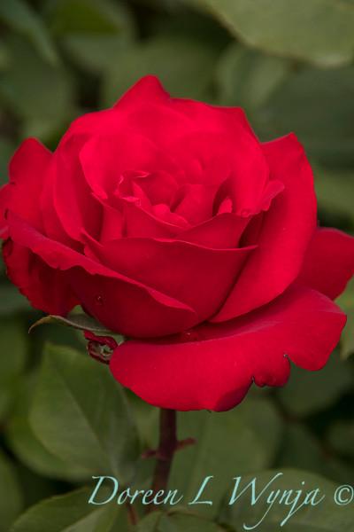 Rosa hybrid tes 'Opening Night'_9904.jpg