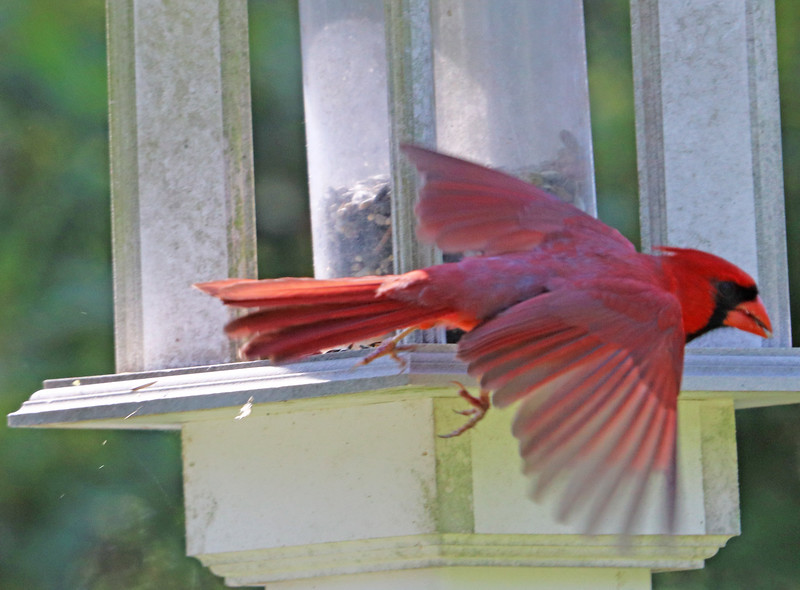 Cardinal taking off