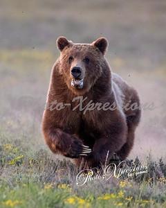 Grand Tetons 399 bear and cubs 06-01-21