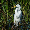 Great Egret - Green Cay Wetlands - April 2013