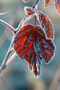 Red frosty leaf