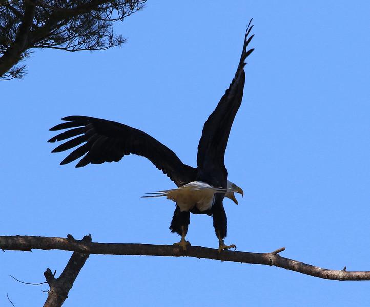 bald eagle angry.jpg