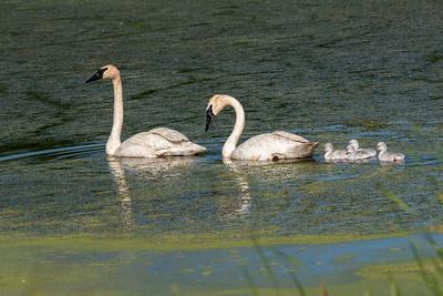 July 4, 2021 - Trumpeter Swan Nest