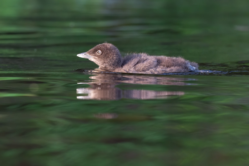 #1219 Common Loon Chick