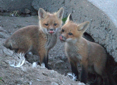A Den of Fox's