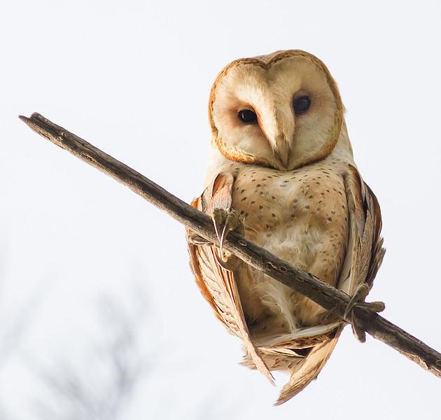 Barn Owl - Panoche Valley, CA, USA