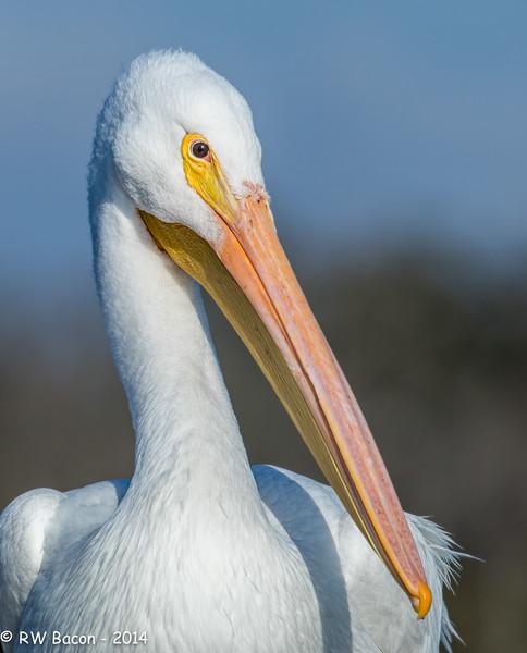 White Pelican Portrait.jpg