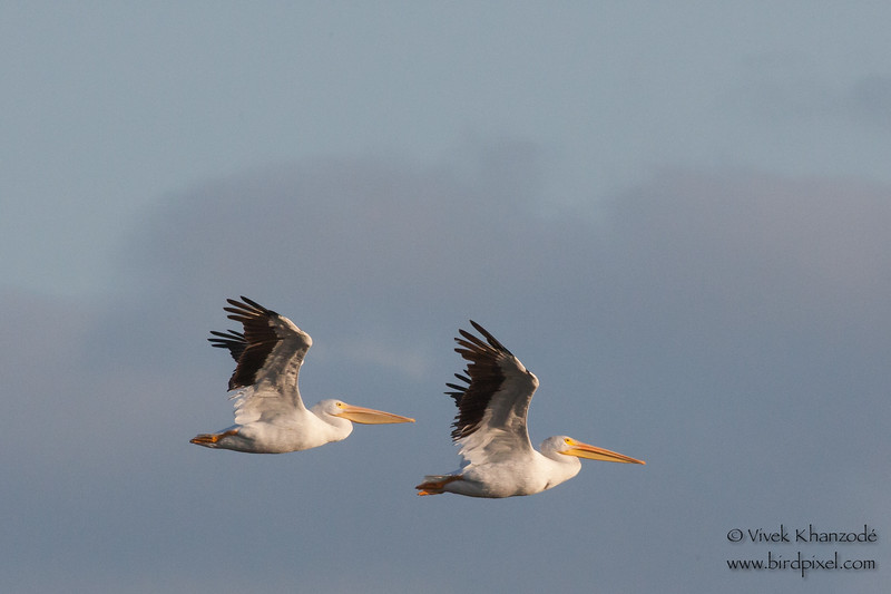American White Pelicans - Alviso, CA, USA