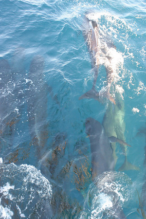 Pilot Whales in the Gulf of Maine