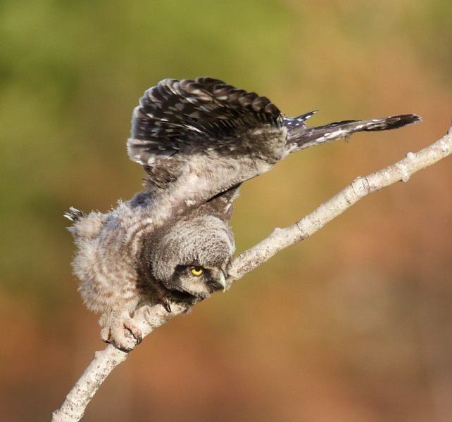Northern Hawk Owl baby juvenile Owl Ave Sax-Zim Bog MN Northern Hawk Owl baby juvenile Owl Avenue Sax-Zim Bog MN IMG_1177.jpg