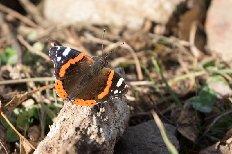 carpathian mountains, bunea lodge, atalanta, red admiral