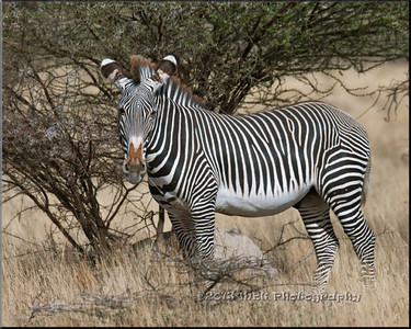 Zebras of Kenya