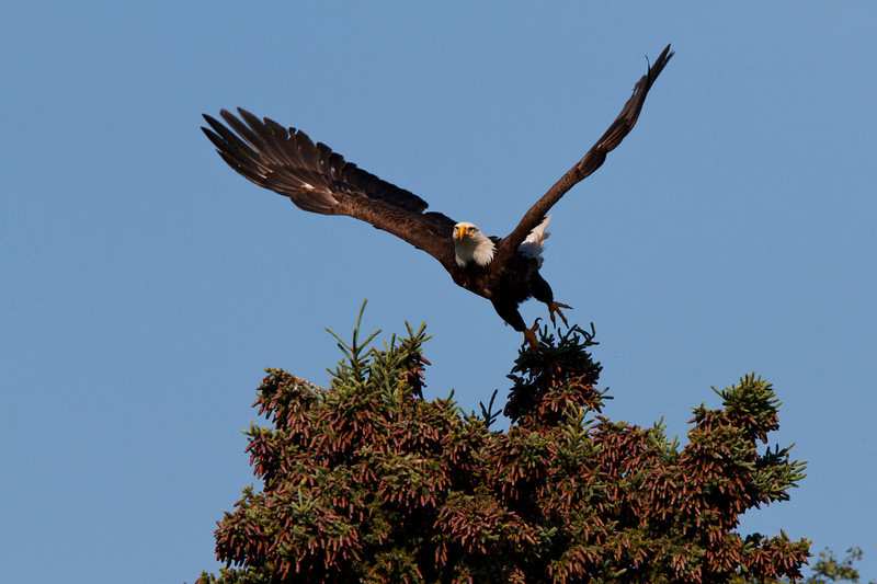 Bald eagle ready to take flight