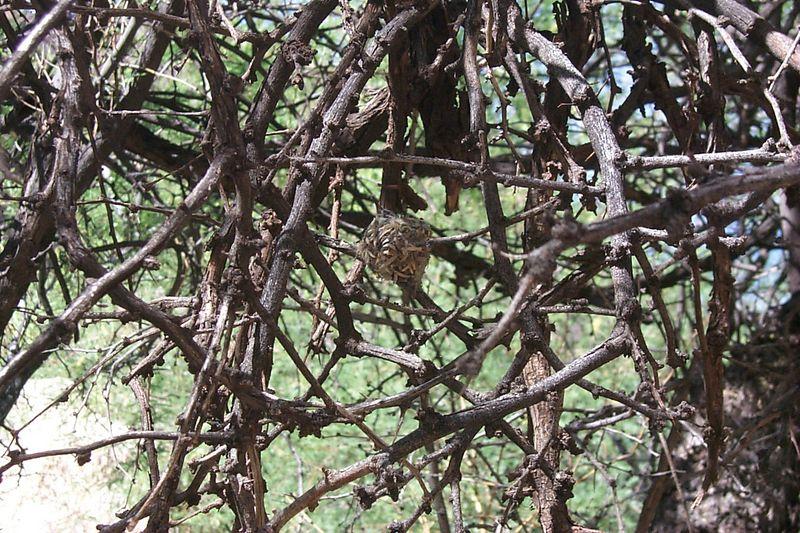 Hummingbird Nest   (May 30, 1999, 04:48pm)