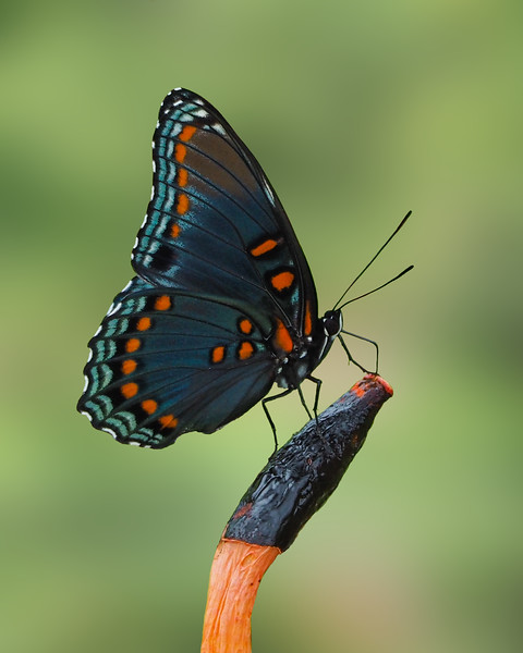Red-spotted Purple on Dog Stinkhorn