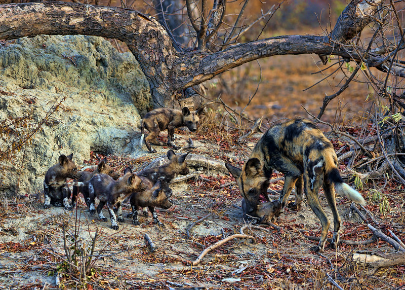 WILD DOG WITH PUPS - SOUTH AFRICA