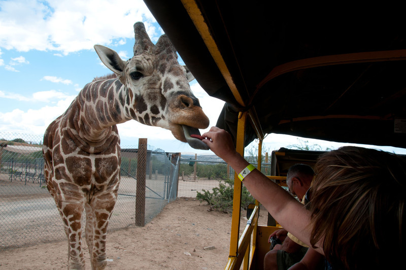 Charla hand feeds giraffe a soy and molasses biscut at Out of Africa Wildlife Park Near Sedona, Arizona.  Click on Map This to view a satellite map pinpointing where each of where these photos was taken.