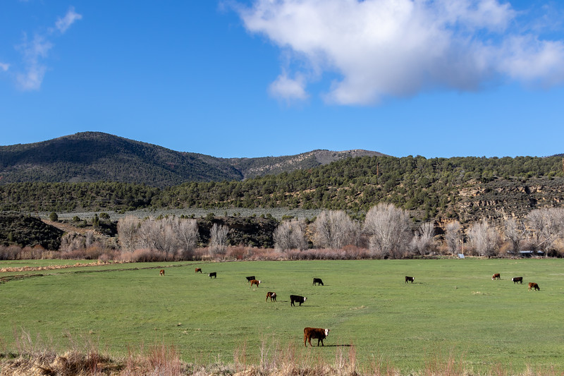 Cattle grazing near the White River in Northwest Colorado. Photo by Mitch Tobin/The Water Desk.