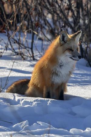 1-24-18 **Red Fox Hunting