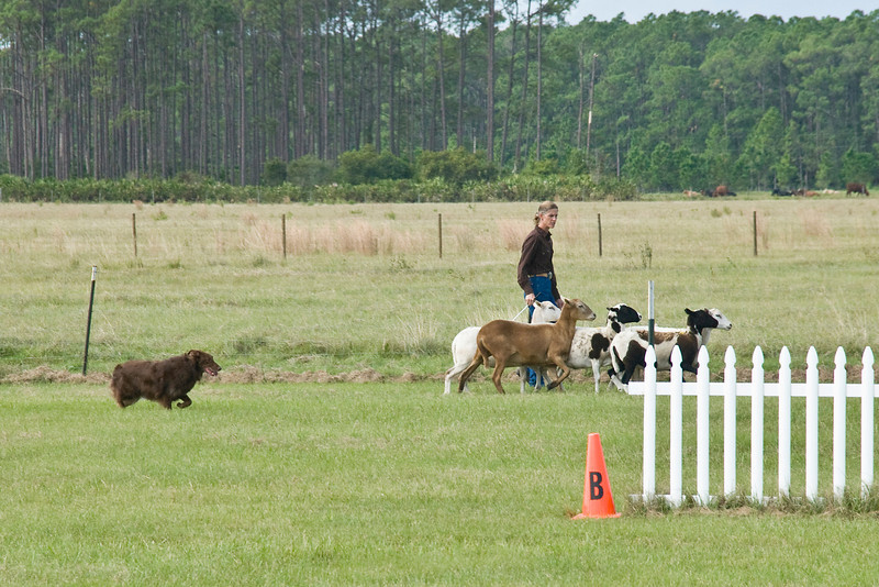 #301 (Saturday) - Mocha Bear, an Australian Shepherd, earned 1st place with a score of 80 and a time of 3:59 minutues.  Mo is owned by Marti Gillhouse and handled by Stacey Helsel, agent.