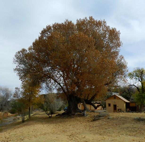 Tree big old4.jpg