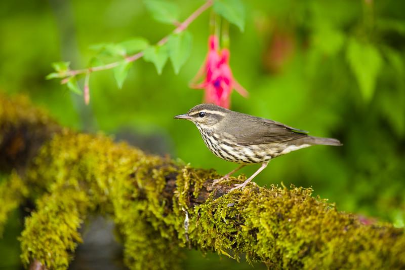 Northern Waterthrush Warbler