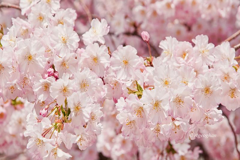 April 16_BranchBrookCherryBlossoms_7419t.jpg